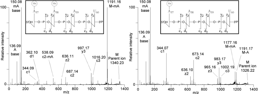 Spectres MALDI-MS/MS d'oligonucléotides méthylés. Guelorget A, Roovers M, Guérineau V, Barbey C, Li X, Golinelli-Pimpaneau B. Nucleic Acids Res. 2010; 38(18):6206-18.