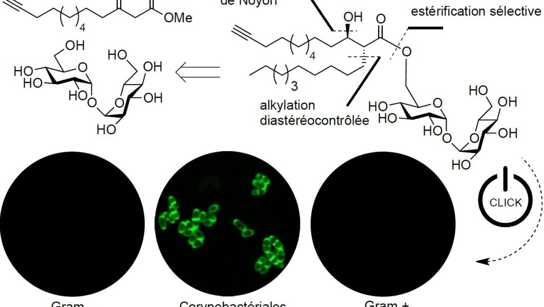 Première synthèse d'une sonde bioorthogonale à base de tréhalose monomycolate, présentant la structure complexe des acides mycoliques, pour l'étude de la paroi cellulaire des mycobatéries