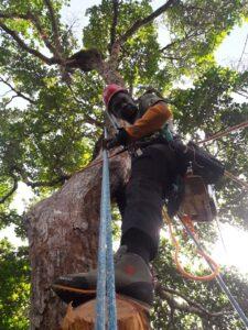 Découpe en hauteur des branches supérieures