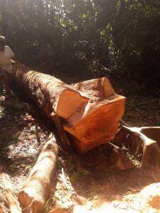 Abattage de l'arbre